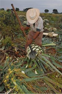 A jimador is harvesting blue Weber agave fields in Tequila, Jalisco