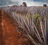 Blue agave fields in Tequila, Jalisco